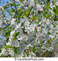 blossoming cherry orchard and blue sky
