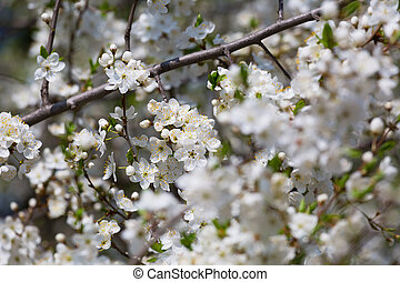 blossoming cherry orchard in the spring