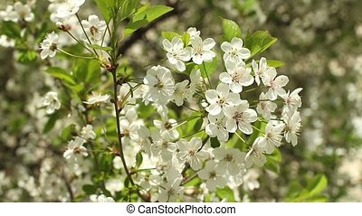 blossoming cherry orchard - white flowers blossoming cherry...