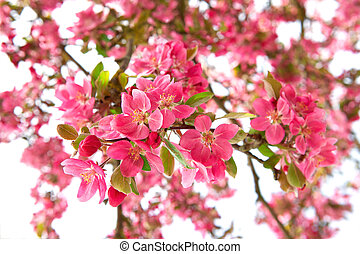 blossoming cherry tree. beautiful pink flowers