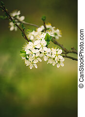 Blossoming cherry tree branch in spring