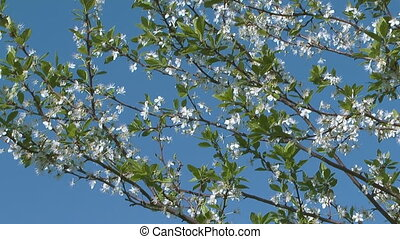 Blossoming cherry-tree. - Flowering cherry-tree against blue...