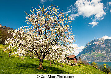 Blossoming cherry tree in spring in rural scenery at lake ...