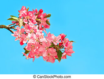 blossoming cherry tree on blue sky background