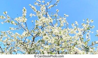 Blossoming cherry tree on blue sky background. White flowers. Spring garden