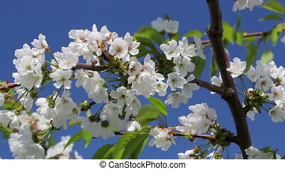 Blossoming cherry tree on blue sky