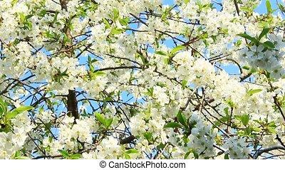 Blossoming cherry tree. White flowers. Spring garden
