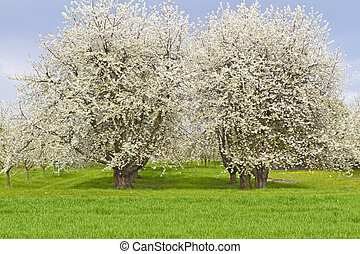 Blossoming cherry trees on a green meadow
