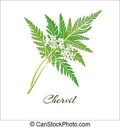 Blossoming chervil color vector illustration