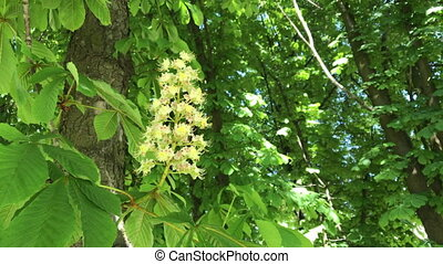 Blossoming chestnut. Beautiful flowers among young green...