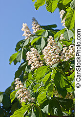 chestnut in the spring