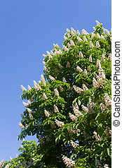 Blossoming chestnut against the sky in the spring