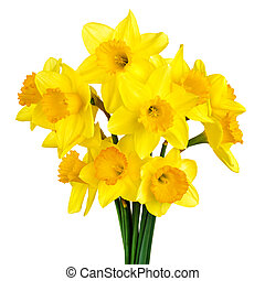 Blossoming daffodils isolated on white