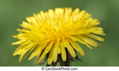 Blossoming dandelion close up