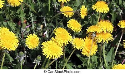 Blossoming dandelions on sunny day