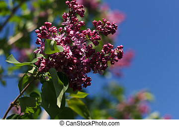 Blossoming decorative lilac tree on spring against background of blue sky