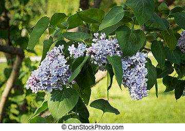Blossoming decorative lilac tree on spring