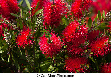 Blossoming flowers of callistemon at sun spring day. ...