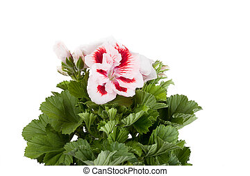 Blossoming geranium  of red-white color