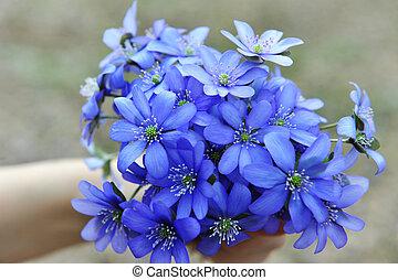 blossoming, hepatica