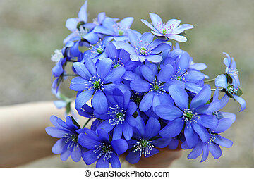 Blossoming hepatica - Woman holding blossoming blue Hepatica