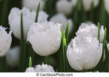 Blossoming Honeymoon white tulips, selective focus, spring postcard background concept. Toned