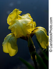 Blossoming iris on the edge of the bog