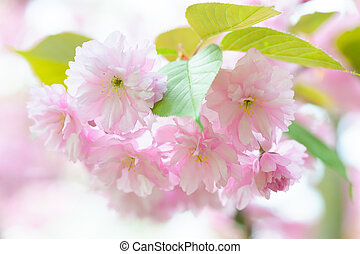 Blossoming Japanese cherry tree - Branch of a blossoming...