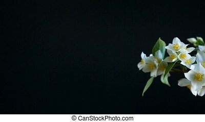 blossoming jasmine flowers on a black background