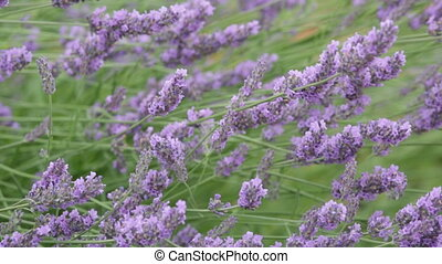 blossoming lavender in the field in summer day
