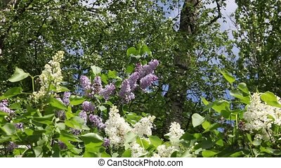 lilac - blossoming lilac bushes sunny spring day