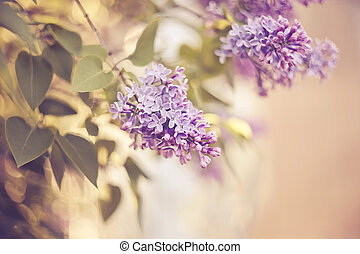 Blossoming lilac in the spring.