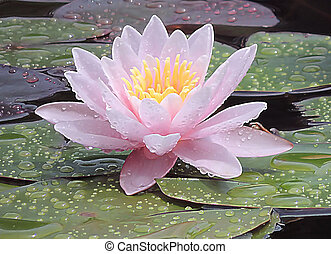 Blossoming lily.