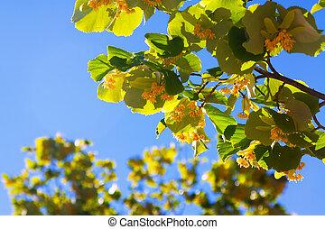 linden branch in sunshine