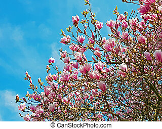 Blossoming magnolia tree in springtime
