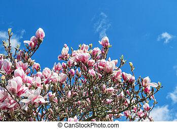 Blossoming magnolia tree. Spring flowers blue sky