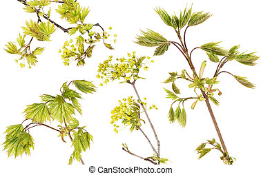 Blossoming maple tree branches set