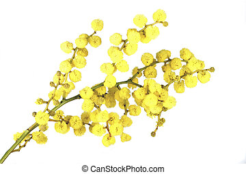 Blossoming mimosa on a white background