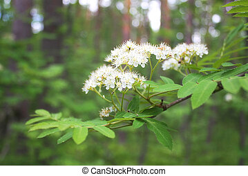 Blossoming mountain ash - White inflorescence blossoming...