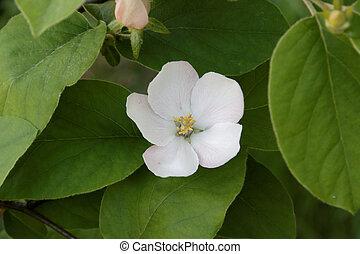 Cydonia oblonga blossom. - Blossoming of a quince. Cydonia ...