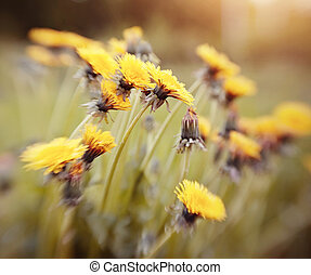Blossoming of a yellow dandelion.