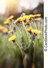 Blossoming of a yellow dandelion. - Blossoming of summer...