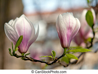 magnolia flowers - blossoming of magnolia flowers in spring ...