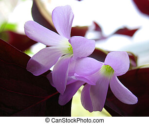 blossoming of oxalis - bossom of oxalis