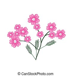 Blossoming of Pink Yarrow Flowers or Achillea Millefolium ...