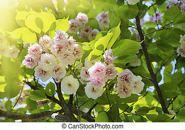 Blossoming of sakura tree flowers, natural sunny floral spring seasonal background