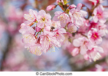 blossoming of sakura flowers - Sakura flowers blooming...