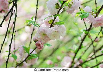 Blossoming of sakura flowers, shallow depth of field