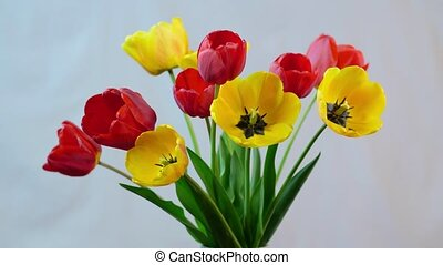 Blossoming of tulips - Isolated flowers blooming timelapse...