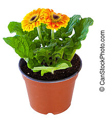 Blossoming orange of pink gerbera in flowerpot isolated on white.